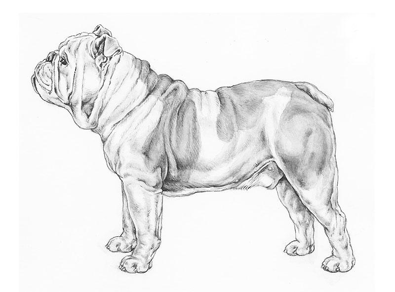 English bulldog anatomy